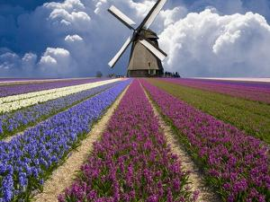 Windmill and Flower Field in Holland by Jim Zuckerman
