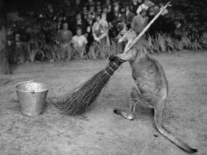 Jimmy Le Kangourou Du Zoo De Londres Faisant Le Menage