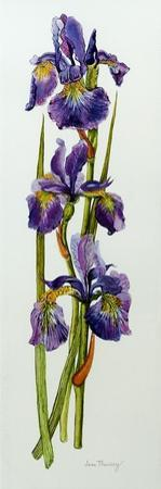 Three Irises with Leaves by Joan Thewsey