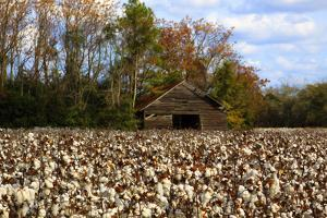 An Old Wooden Barn in a Cotton Field in South Georgia, USA by Joanne Wells