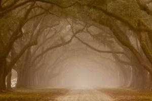 Georgia, Savannah, Fog and Oaks Along Drive at Wormsloe Plantation by Joanne Wells