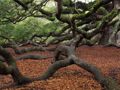 Historic Angel Oak Tree, Charleston, South Carolina, Usa by Joanne Wells