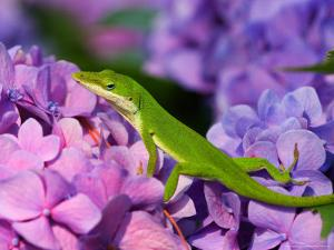 Lizard on Hydrangea, Savannah, Georgia, USA by Joanne Wells