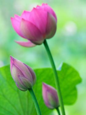 Perry's Water Garden, Lotus Bloom and Buds, Franklin, North Carolina, USA by Joanne Wells