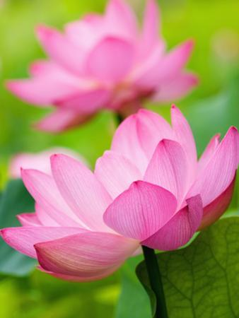 Perry's Water Garden, Lotus Blossom, Franklin, North Carolina, USA by Joanne Wells