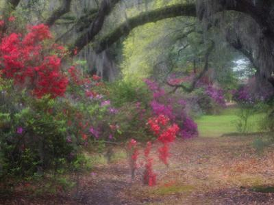 Spring Azaleas in Bloom at Magnolia Plantation and Gardens, Charleston, South Carolina, Usa by Joanne Wells