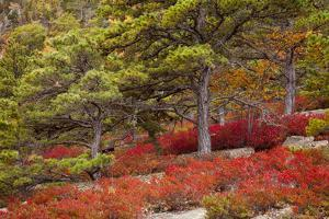 USA, Acadia National Park, Maine. Red blueberry bushes along drive. by Joanne Wells