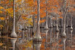 USA, George Smith State Park, Georgia. Fall cypress trees with wood duck box. by Joanne Wells