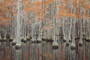 USA, Georgia. Cypress trees in the fall at George Smith State Park. by Joanne Wells