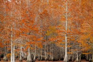 USA, Georgia. Cypress trees in the fall. by Joanne Wells