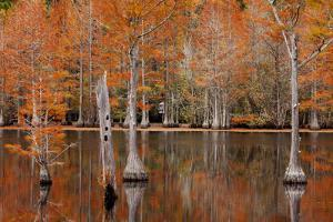 USA, Georgia. Cypress trees with wood duck box in the fall at George Smith State Park. by Joanne Wells