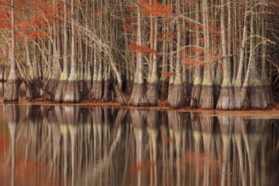 USA, Georgia. Twin City, Cypress trees and reflections in the fall. by Joanne Wells