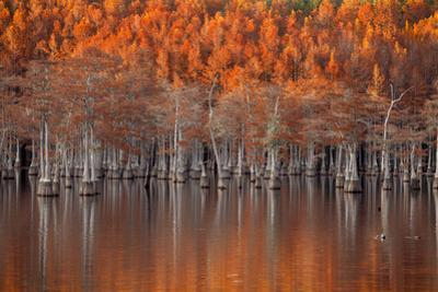 USA, Georgia, Twin City, Cypress trees in the fall at sunset. by Joanne Wells