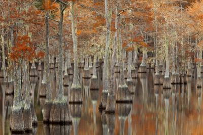 USA, Georgia. Twin City, Cypress trees with moss in the fall. by Joanne Wells