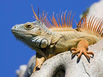 Close-Up of Male Iguana on Tree, Lighthouse Point, Florida, USA
