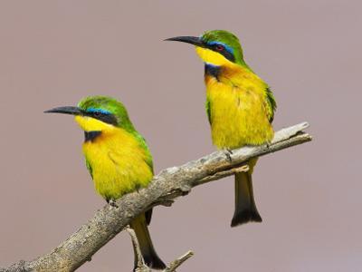 Two Little Bee-Eater Birds on Limb, Kenya