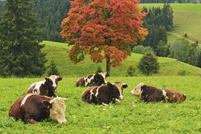 Bulls on Pasture and Maple Tree, Black Forest, Schwarzwald-Baar, Baden-Wurttemberg, Germany, Europe by Jochen Schlenker