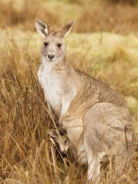 Eastern Grey Kangaroo and Joey, Kosciuszko National Park, New South Wales, Australia, Pacific by Jochen Schlenker