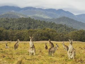 Eastern Grey Kangaroos, Geehi, Kosciuszko National Park, New South Wales, Australia, Pacific by Jochen Schlenker