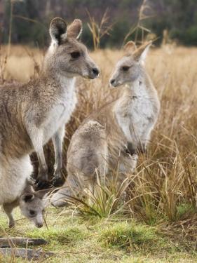 Eastern Grey Kangaroos, Kosciuszko National Park, New South Wales, Australia by Jochen Schlenker