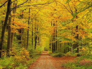 Forest in Autumn, Schoenbuch, Baden-Wurttemberg, Germany, Europe by Jochen Schlenker