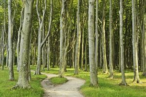Gespensterwald (Ghost Forest) Near Nienhagen, Baltic Sea, Mecklenburg-Vorpommern, Germany, Europe by Jochen Schlenker