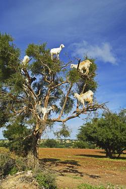 Goats on Tree, Morocco, North Africa, Africa by Jochen Schlenker
