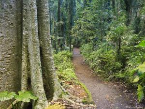 Path Through Rainforest, Dorrigo National Park, New South Wales, Australia by Jochen Schlenker