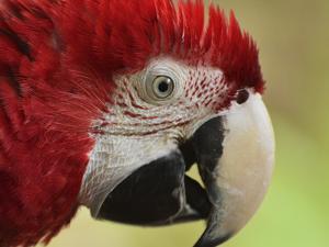 Portrait of Macaw, Lok Kawi Wildlife Park, Sabah, Borneo, Malaysia,Southeast Asia, Asia by Jochen Schlenker