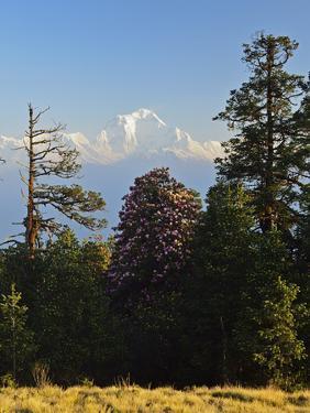 Rhododendron and Dhaulagiri Himal Seen from Poon Hill, Dhawalagiri (Dhaulagiri), Nepal by Jochen Schlenker