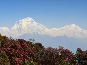 Rhododendron and Dhaulagiri Himal Seen from Poon Hill, Dhawalagiri (Dhaulagiri), Nepal by Jochen Schlenker