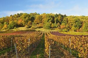 Vineyard Landscape, Near St. Martin, German Wine Route, Rhineland-Palatinate, Germany, Europe by Jochen Schlenker