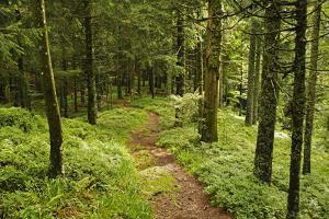 Walking Trail, Hochkopf, Near Schonau, Black Forest, Baden-Wurttemberg, Germany, Europe by Jochen Schlenker