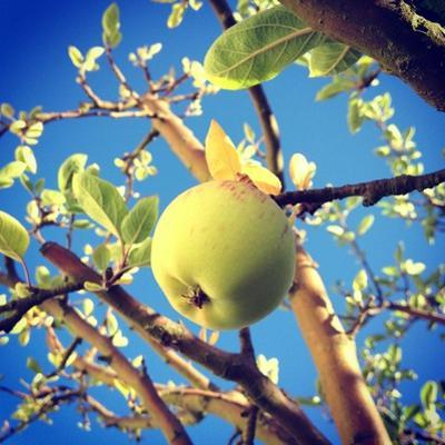 Green Apple Hanging from the Tree against Blue Sky by Jodie Griggs
