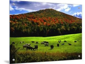 Vermont Cows by Jody Miller