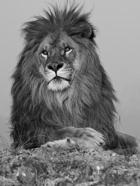 African Lion, Bozeman, Montana, USA by Joe & Mary Ann McDonald