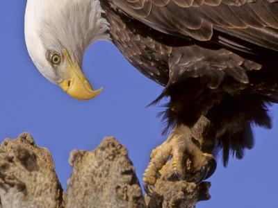 Bald Eagle Perched on Tree Branch, Alaska, USA