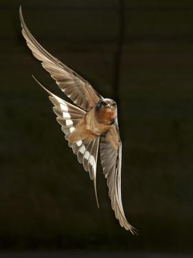 Barn Swallow, Pennsylvania, USA by Joe & Mary Ann McDonald