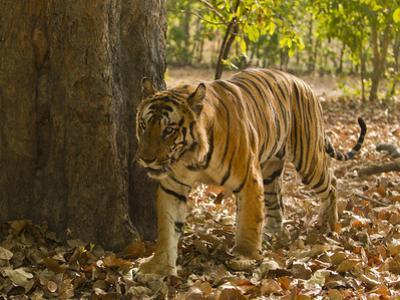 Bengal Tiger, Madhya Pradesh, Bandhavgarh National Park, India by Joe & Mary Ann McDonald