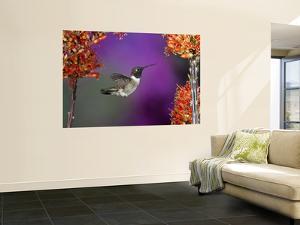 Black-Chinned Hummingbird, Arizona, USA by Joe & Mary Ann McDonald