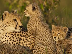Cheetahs, Upper Mara, Masai Mara Game Reserve, Kenya by Joe & Mary Ann McDonald