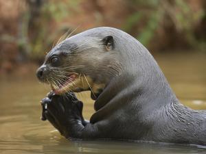Giant River Otter, Pantanal, Brazil by Joe & Mary Ann McDonald