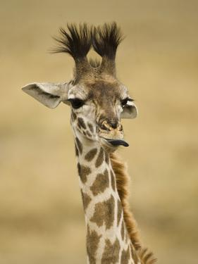 Masai Giraffe, Masai Mara Game Reserve, Kenya by Joe & Mary Ann McDonald