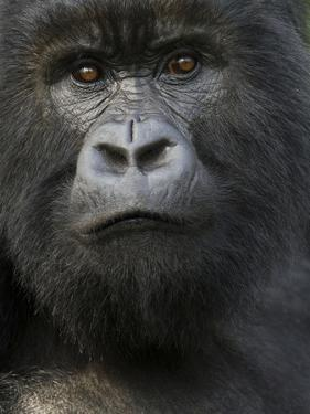 Mountain Gorilla, Volcanoes National Park, Rwanda by Joe & Mary Ann McDonald