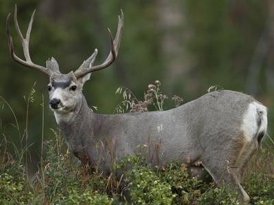 Mule Deer, Yellowstone National Park, Wyoming, USA