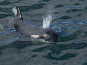 Orca, Frederick Sound, Alaska, USA by Joe & Mary Ann McDonald