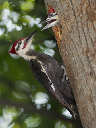 Pileated Woodpecker, Pennsylvania, USA