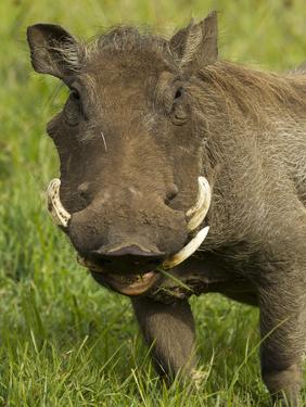 Warthog, Ngorongoro Crater, Serengeti National Park, Tanzania by Joe & Mary Ann McDonald