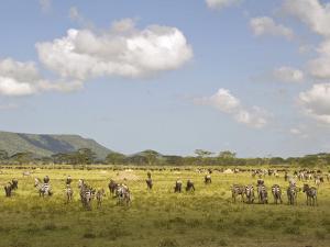 Zebra Herd, Serengeti National Park, Tanzania by Joe & Mary Ann McDonald