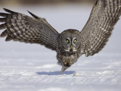 A Great Gray Owl Flying Close to Snowy Ground While Hunting, Strix Nebulosa, North America by Joe McDonald